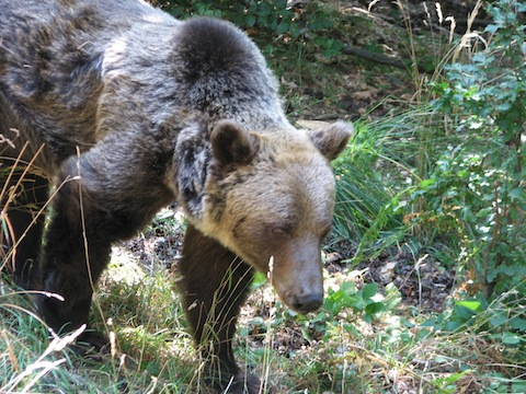 Brown Bear Ecology & Tracking Tour: Rodopi (Rhodope) Mountains
